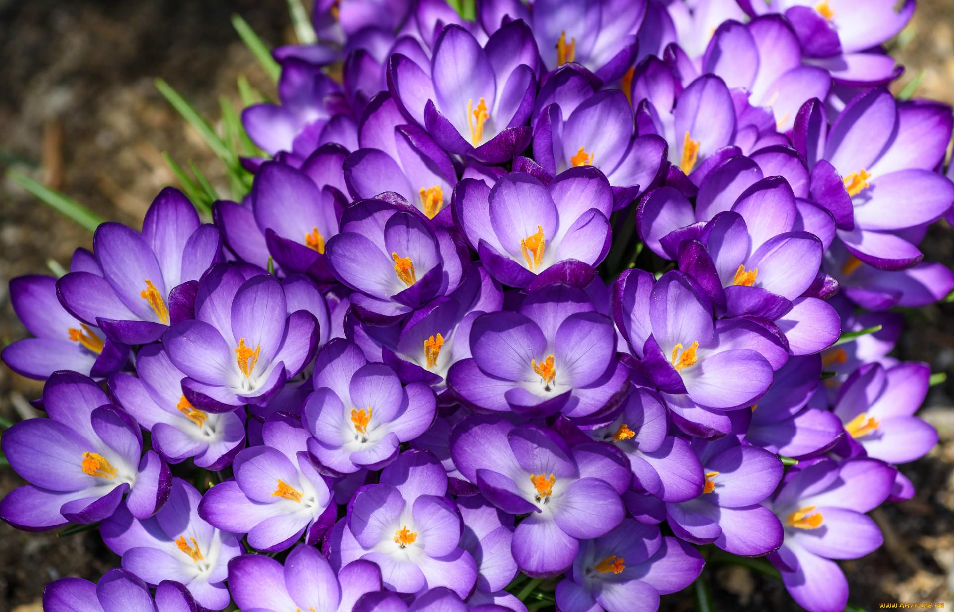 нового года фото подснежников фиолетовых букет что все пчелы
